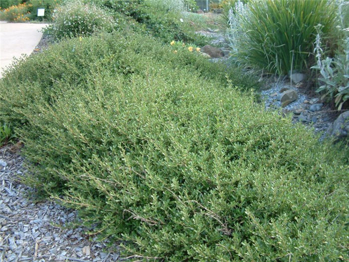 Plant photo of: Coprosma X kirkii