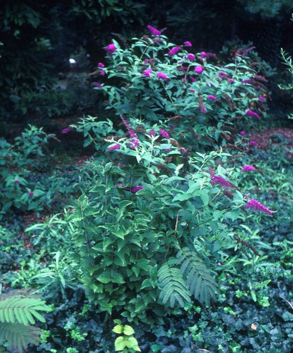 Plant photo of: Buddleja davidii 'Purple Prince'