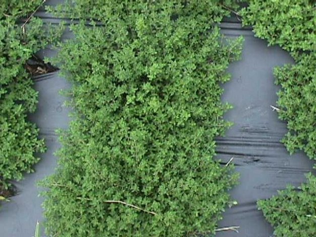 Plant photo of: Thymus vulgaris