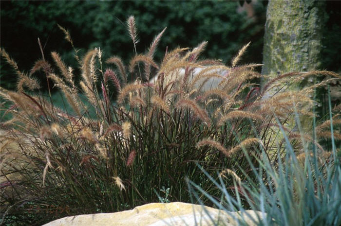 Plant photo of: Pennisetum 'Eaton Canyon'