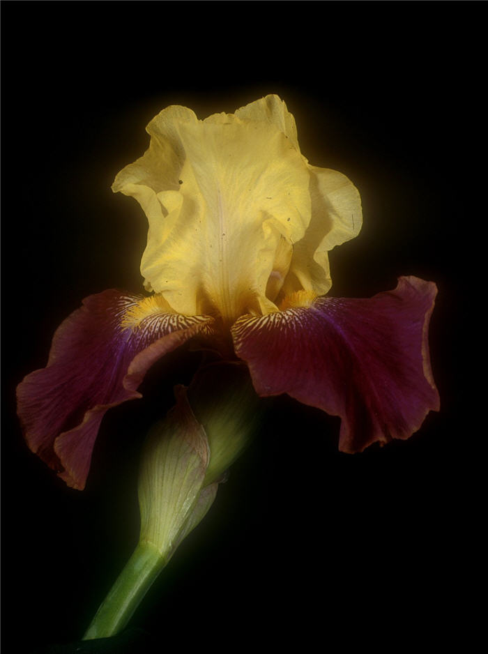 Plant photo of: Iris bearded 'Blatant'