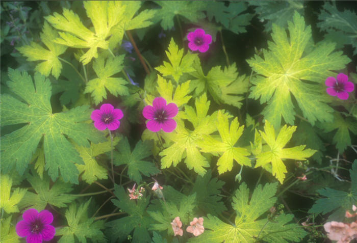 Plant photo of: Geranium 'Ann Folkard'