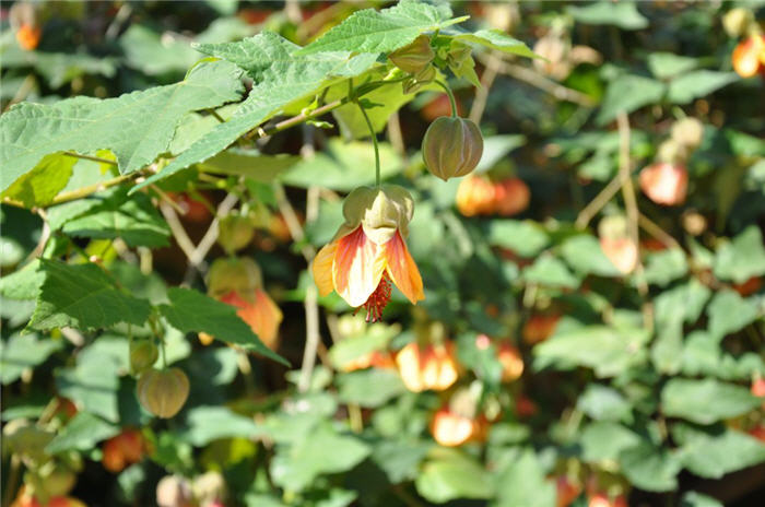 Plant photo of: Abutilon hybrids 'Apricot'