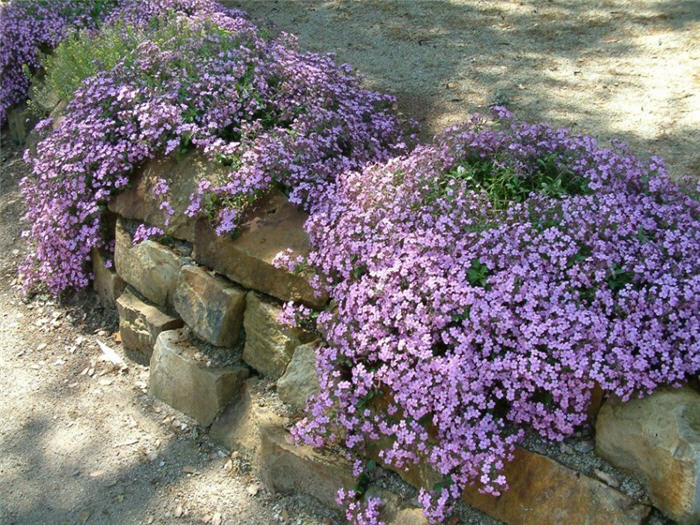 Plant photo of: Saponaria ocymoides