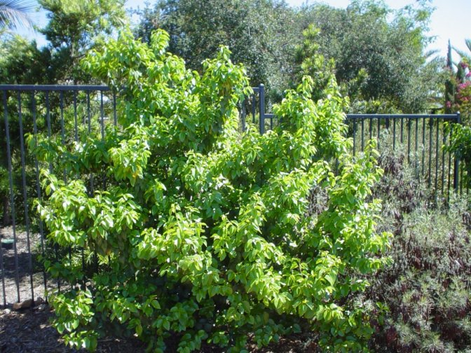 Plant photo of: Prunus ilicifolia ssp. lyonii