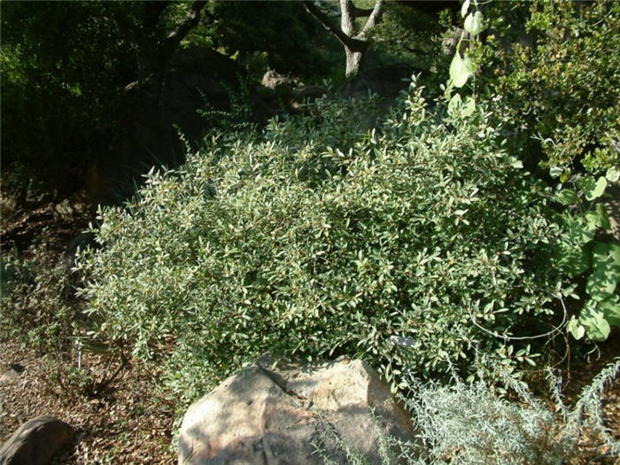 Plant photo of: Rhamnus californica