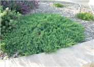 Blue Pacific Ground Cover Shore Jun
