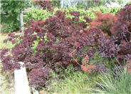 Royal Purple Smoke Tree