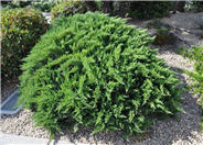 Scandia Ground Cover Juniper