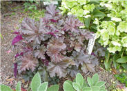 Chocolate Ruffles Coral Bells