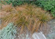 Orange or Brown Sedge