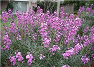 Bowles Mauve Wallflower