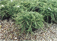 Blue Rug Ground Cover Juniper