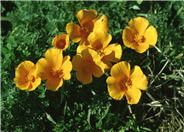 California or Golden Poppy